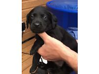 Labradoodle puppies for sale