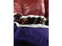 Beautifull well socialised minature smooth haired Dachsunds chocolate and tan and black and tan