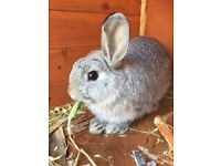 5 month old male bunny rabbit