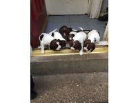 I have 5 full pedigree springer spaniels for sale.