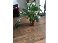 Indoor house plant peace lilly
