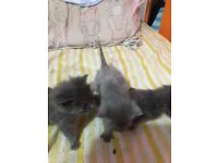 Pure blue kittens for sale