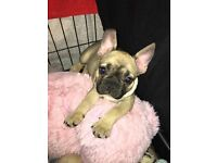 Stunning French bulldog pups for sale