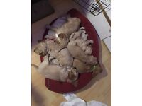 Golden cocker spaniel puppies for sale.
