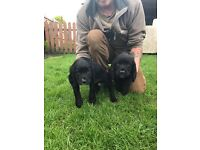 beautifull Sprocker puppies,Ideal family pets lovely very friendly boys.had first vacinations,