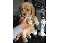 Apricot cavapoo. Girl puppy ready now !!