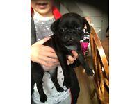 10 week black pug girl for sale