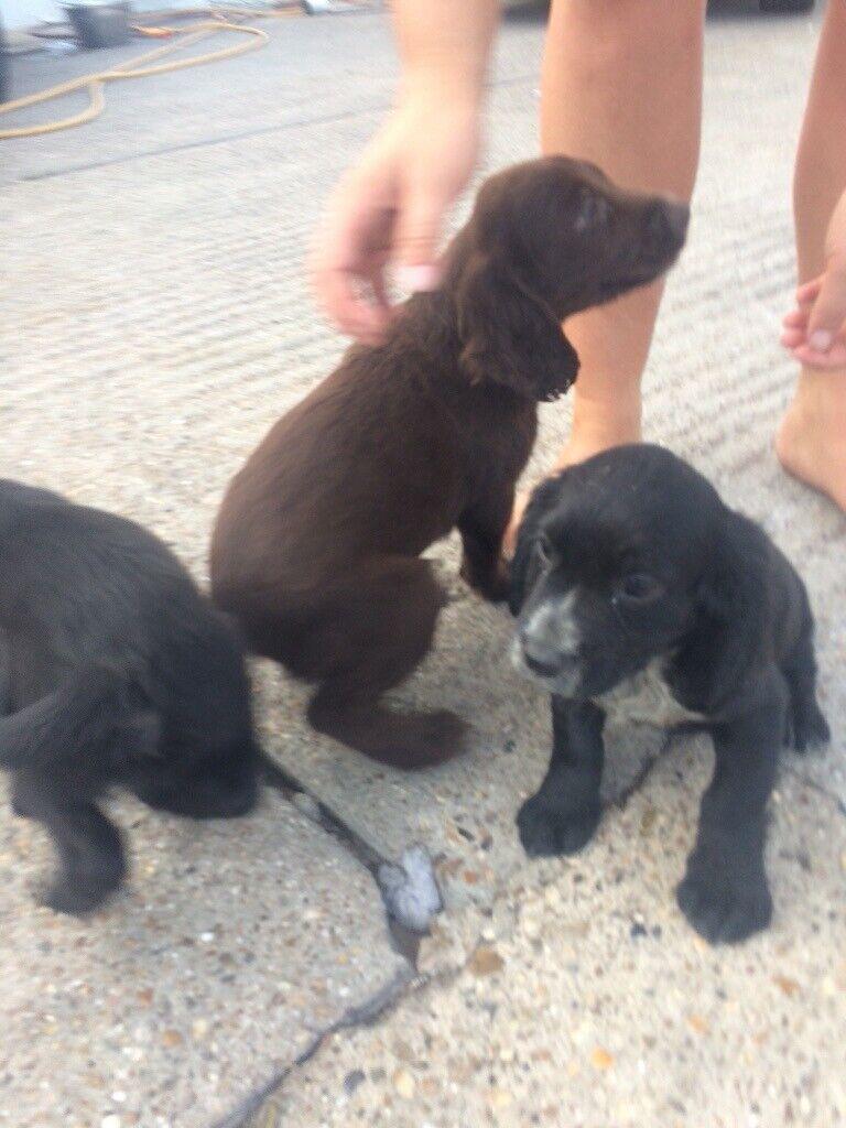 Beautiful cocker spaniel puppies for sale | in Epsom, Surrey | Gumtree