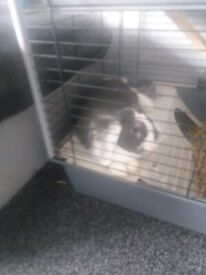 10 month old grey and white rabbit