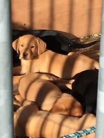 Labrador pups red and black