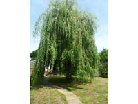 Weeping willow trees. Pokesdown BH5 2AB