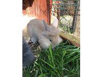 Baby lionheads 8wks old