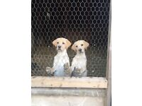 2 yellow Labrador puppies for sale