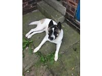 Male American Akita, approx 1 year old. Lovely nature