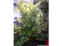 large Cherry Laurel plant in a pot can deliver