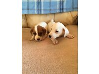 Beautiful Jack Russell puppies for sale