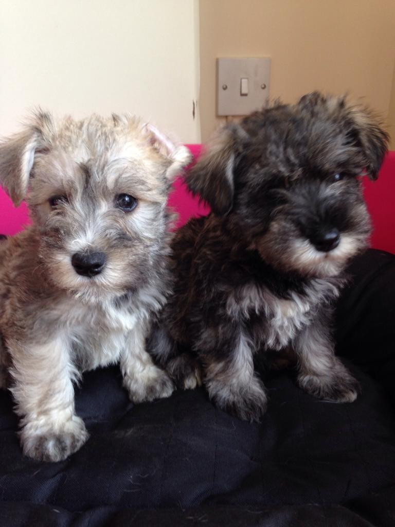 Schnauzer cross bichon frise puppy | United Kingdom | Gumtree