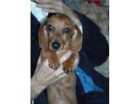 Dachshund .... female pup