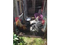2 stunning show standard cockerels and 2 beautiful laying hens