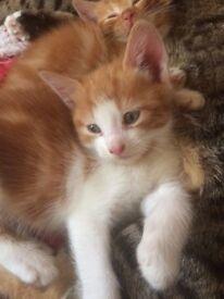 Male kitten all ginger