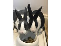 2 lovely indoor female Dutch bunnies (sisters) and all accessories