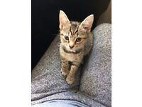 Stunning bengal kitten