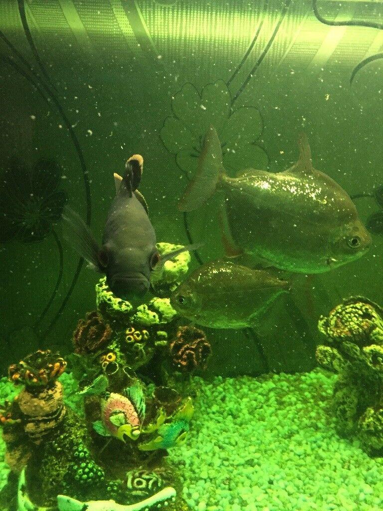 Tropical fish ( NO TANK )
