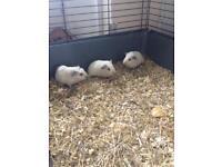 Guinea pig babies, 3 Himalayan, 2 normal