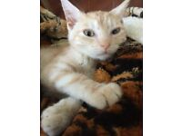 Very pale marbled light cream ginger bengal marking straition male kitten
