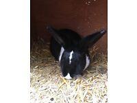 Beautiful Black&White Female Rabbit