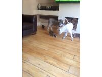 Huskyxstaff puppies