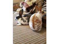 Female baby rex rabbits