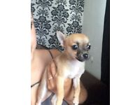 Chihuahua puppy female. Gorgeous puppy for sale 10 weeks old.