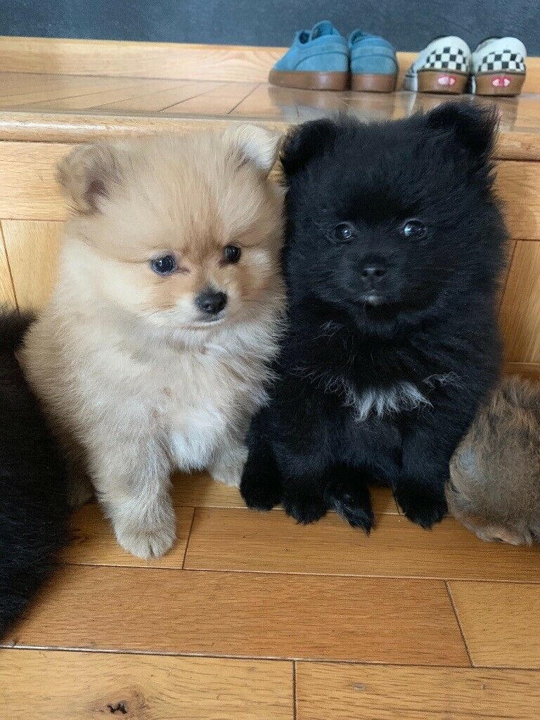 Pomeranian Puppies For Sale - 1 BLACK BOY LEFT!!! | in Huddersfield, West  Yorkshire | Gumtree