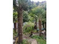 Palm Mature Palms