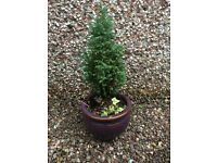 BROWN PLANT POT SIZE 14CM H X 17CM D WITH PLANT