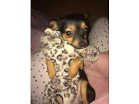 Gorgeous tiny puppy Russian toy terrier cross chihuahua female
