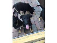 Kc registered German Shepard puppy's