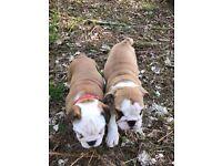 3 Genetation Pedigree English Bulldog Puppy