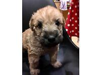 Irish Soft Coated Wheaten Terrier Puppies KC-Reg
