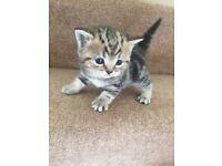 One girl left British shorthair kittens