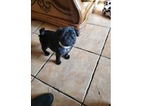 KC Reg pure black pug puppies