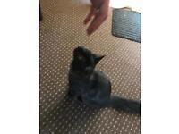 Cross Ragdoll kitten