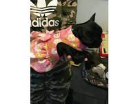 Kc reg French bulldog puppy