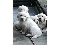 ( white ) golden retriever pups