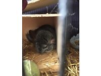 Male chinchilla, comes with cage and bits and food loving home only