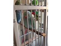 Parrots with cage for sale