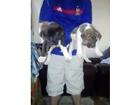 Japanese Akita x hound pups cheap