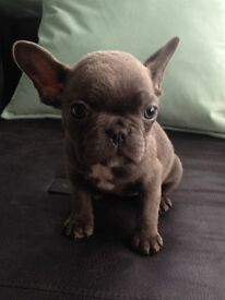 Beautiful French bulldog pups 3 bitches 3 boys all ready to go in 2 weeks they will be 9 weeks