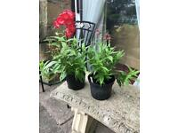 Penstemon, perennial, red with white throat flowers,in 2 litre pots - 2 available